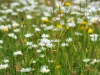Wild flower meadow - year 1